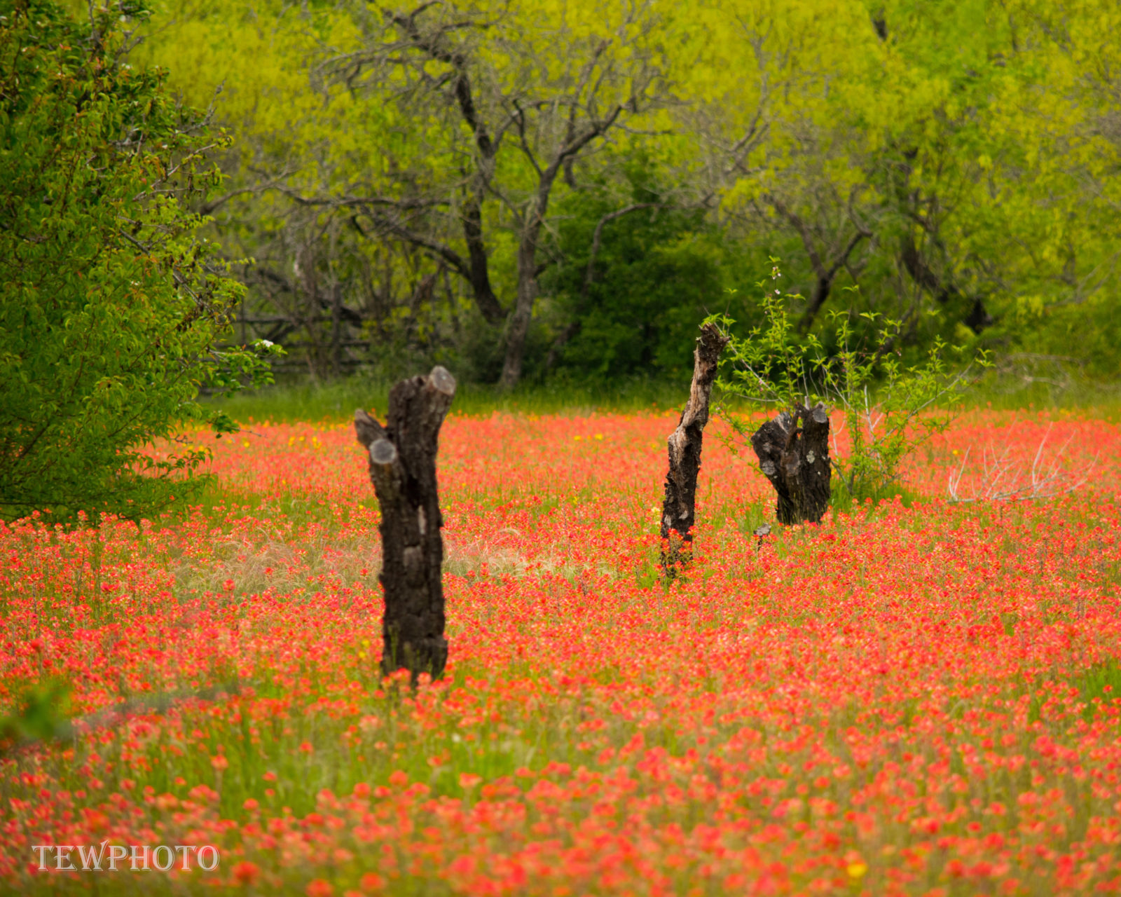 Medow of Indian PaintBrush