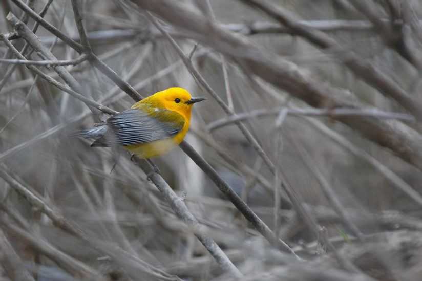 Prothonotary Warbler on Buttonbrush