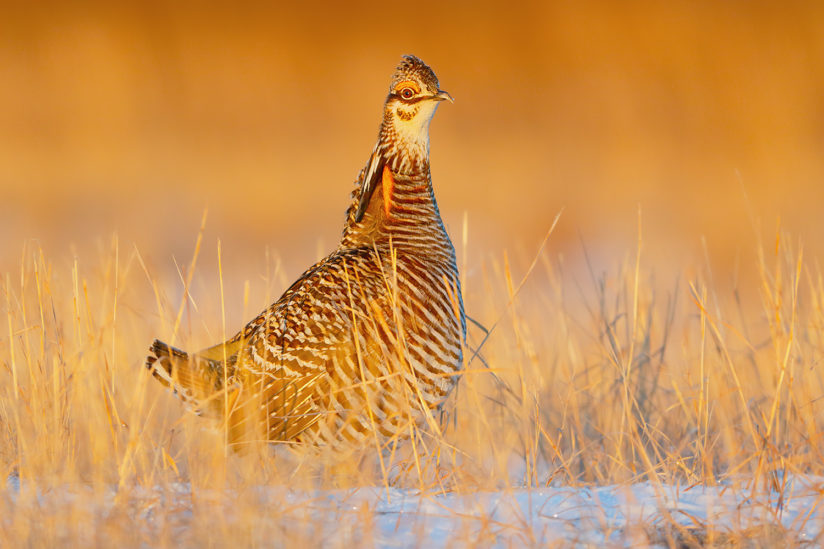 Greater Prairie Chicken on a Lek
