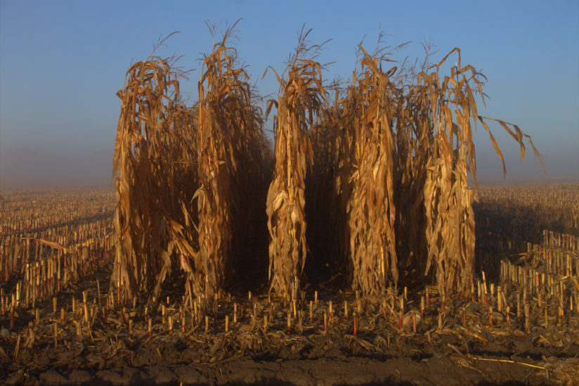 Cornstalks marching out of the fog