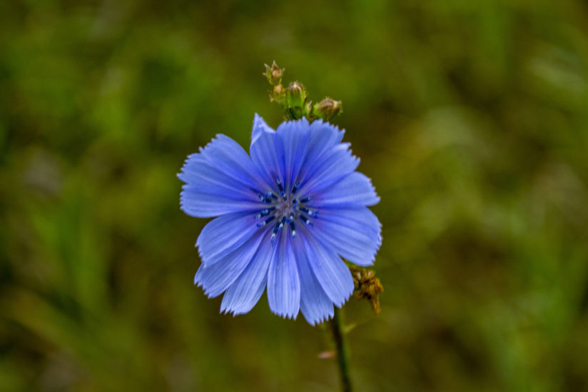Chickory Flower