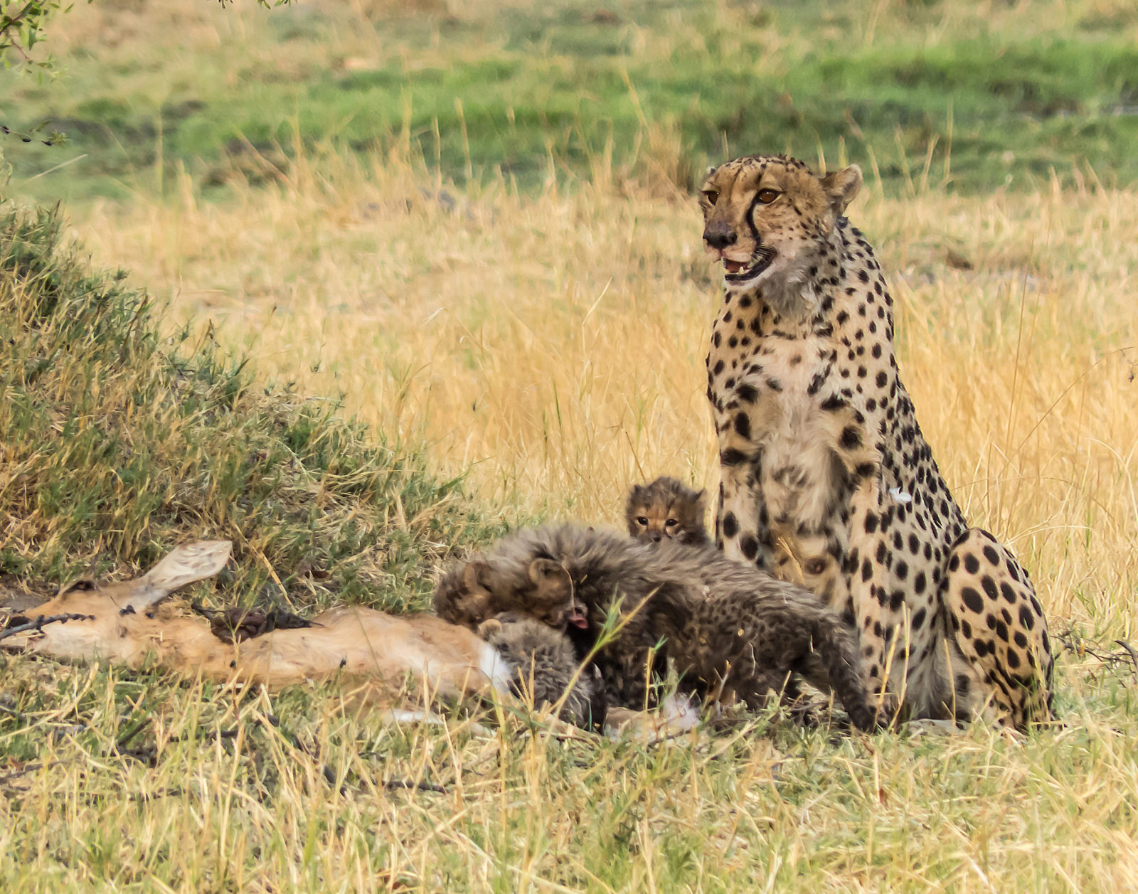 Cheetah with Cubs on a Kill