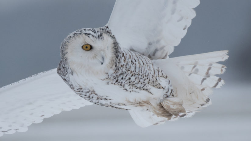 Snowy Owl With Her Eye On The Target