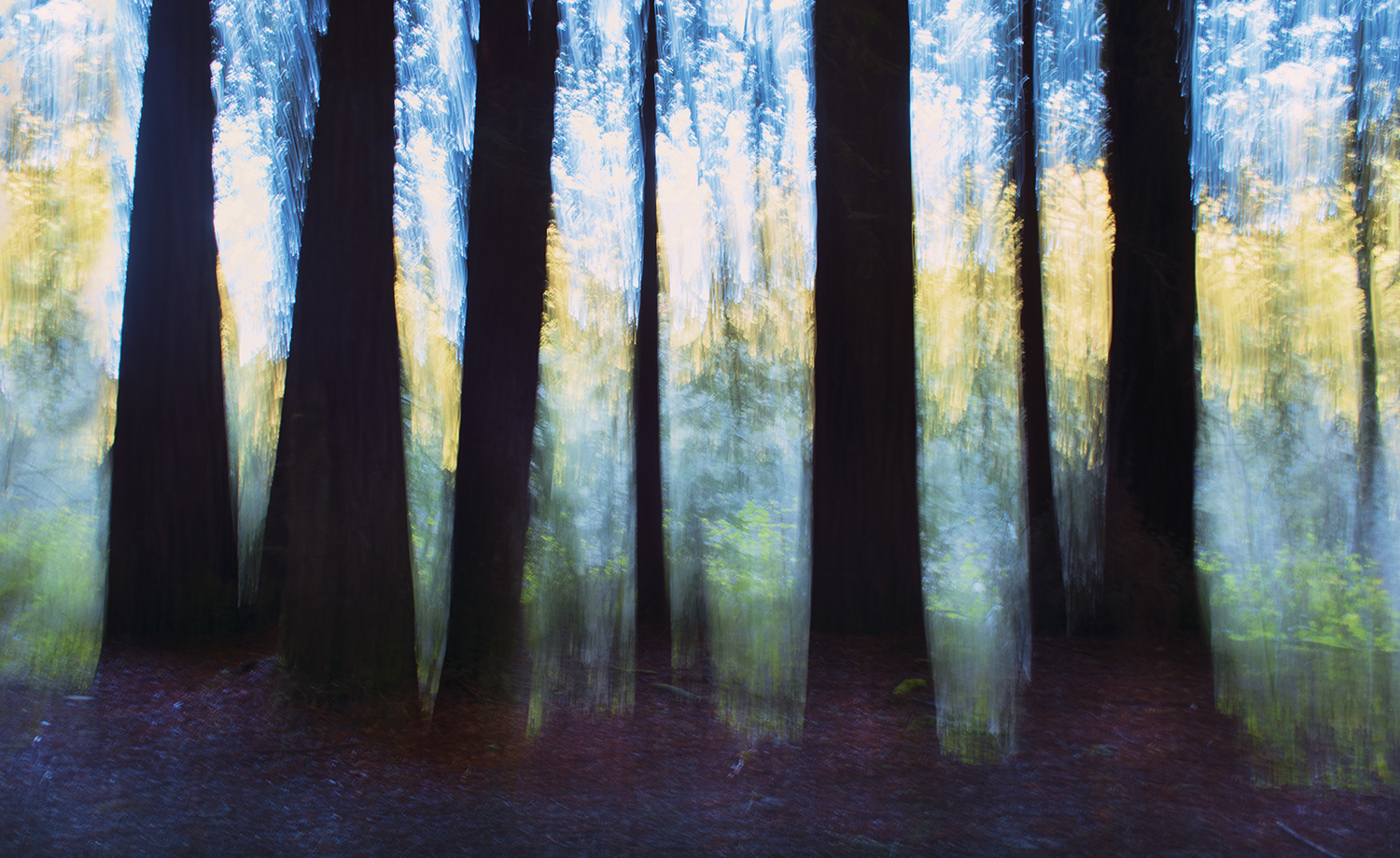 Redwoods Along the Gualala River