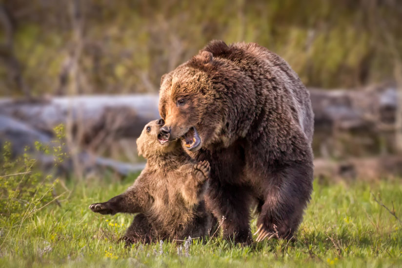 Grizzly Play