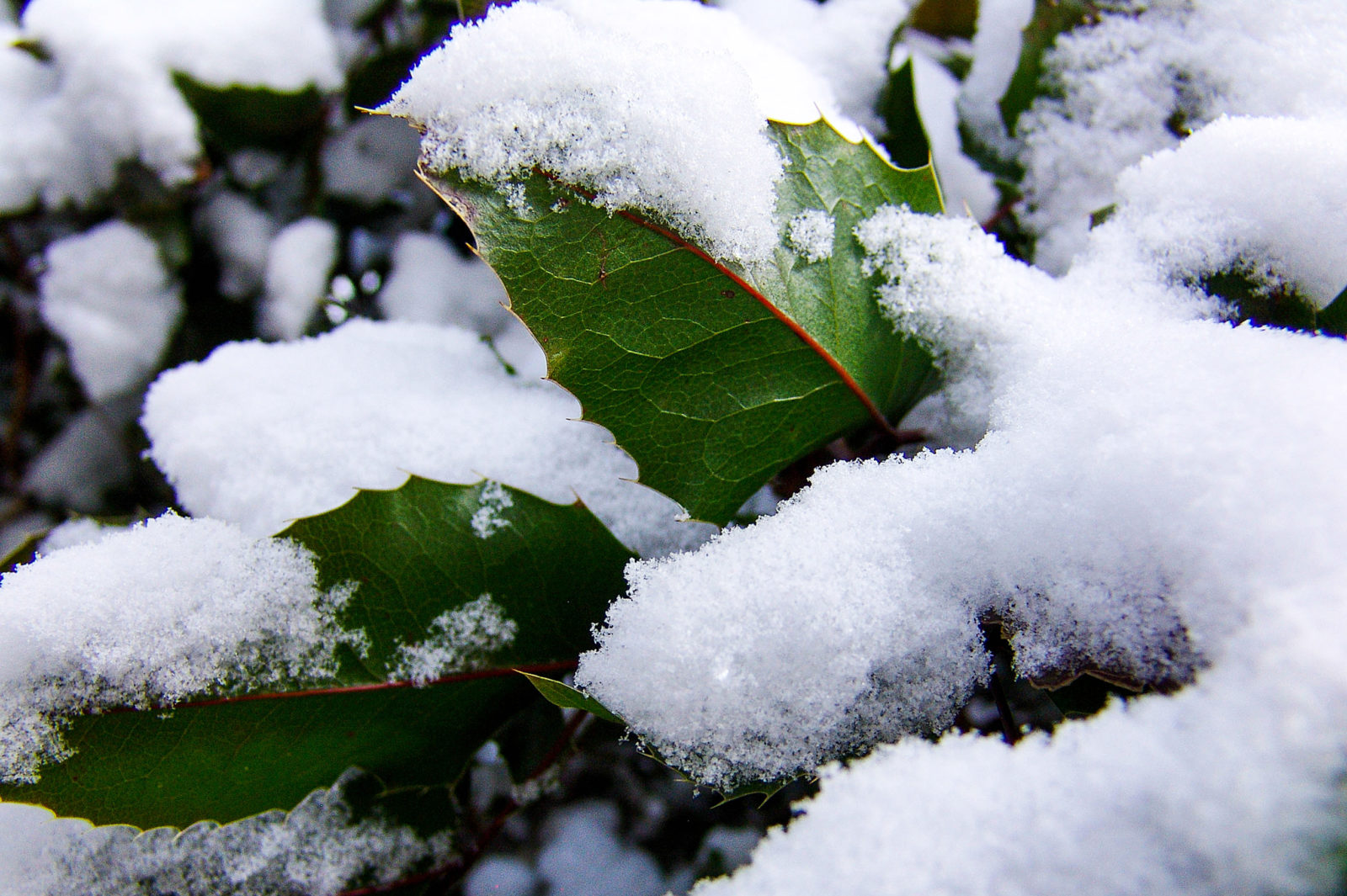 Snowfall on Some Holly Leaves