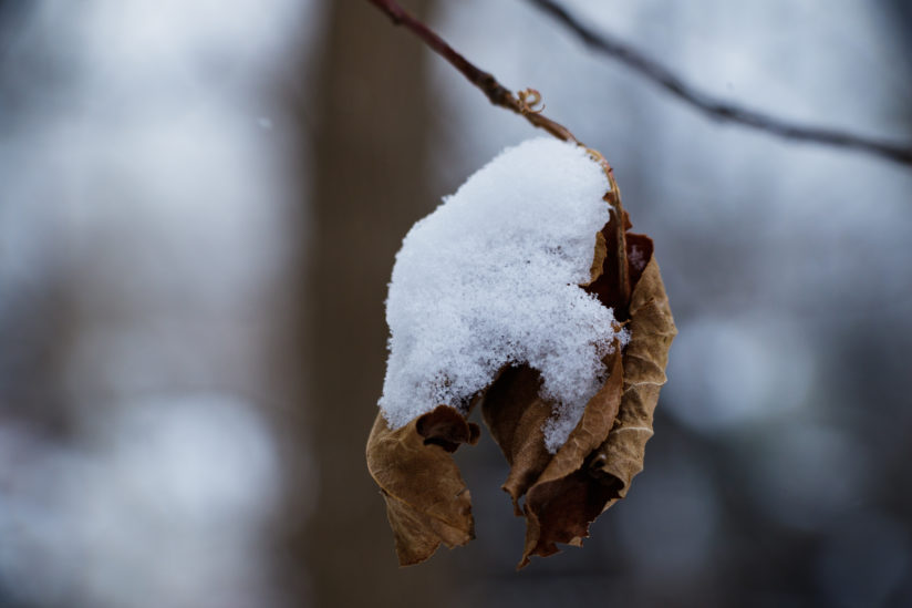 Snow on the Leaves