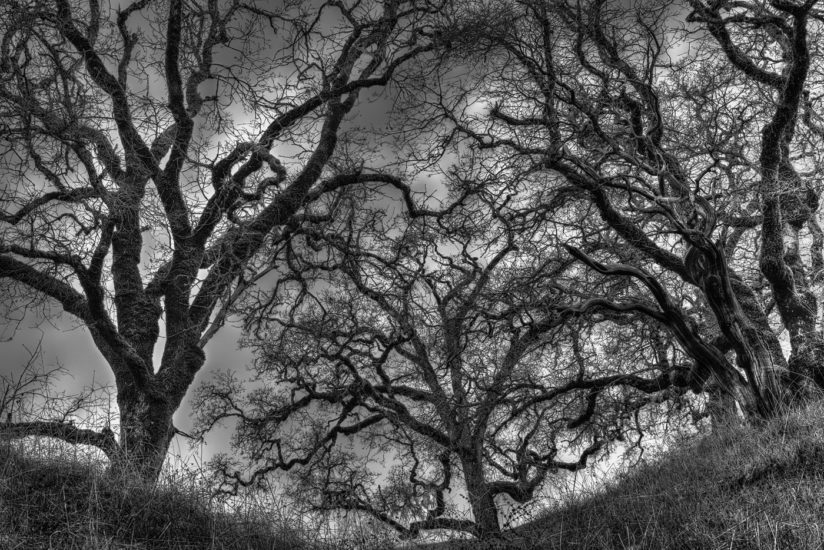 Oaks along the Gualala River