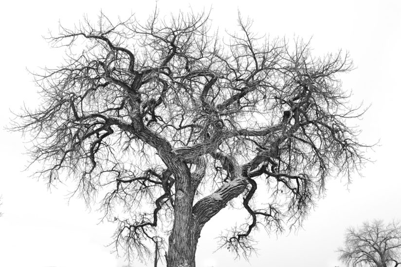 Old Cottonwood Tree
