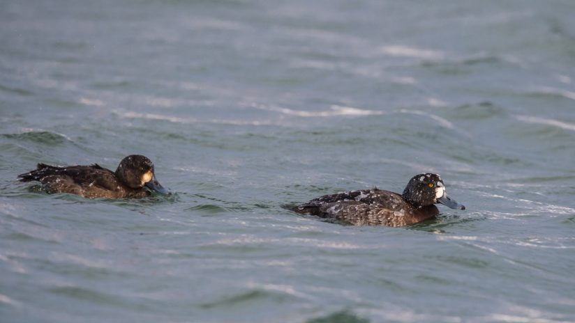 Scaup-burgs