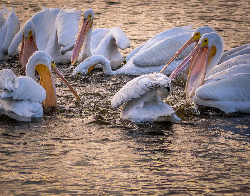 White Pelicans Wintering In Florida