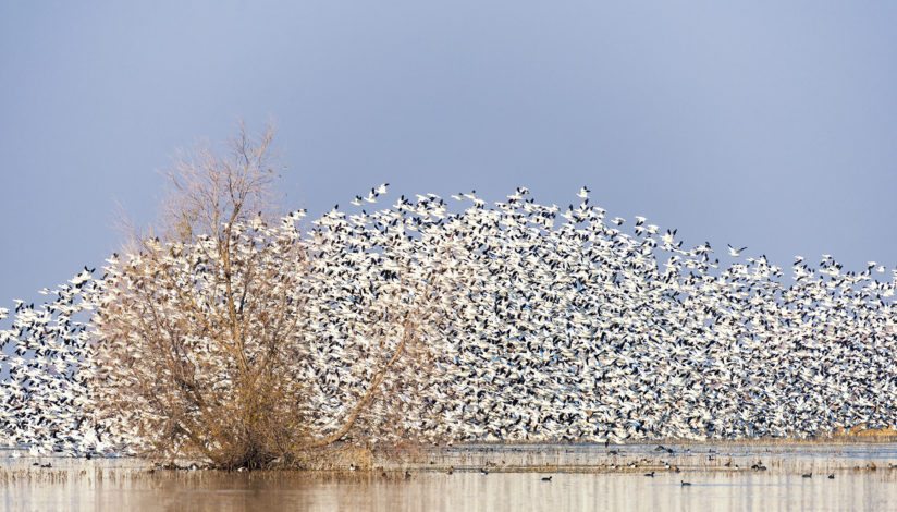 A Cloud of Geese, San Joaquin Valley