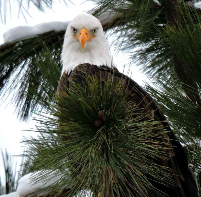 Majestic Stare of Christmas Eagle