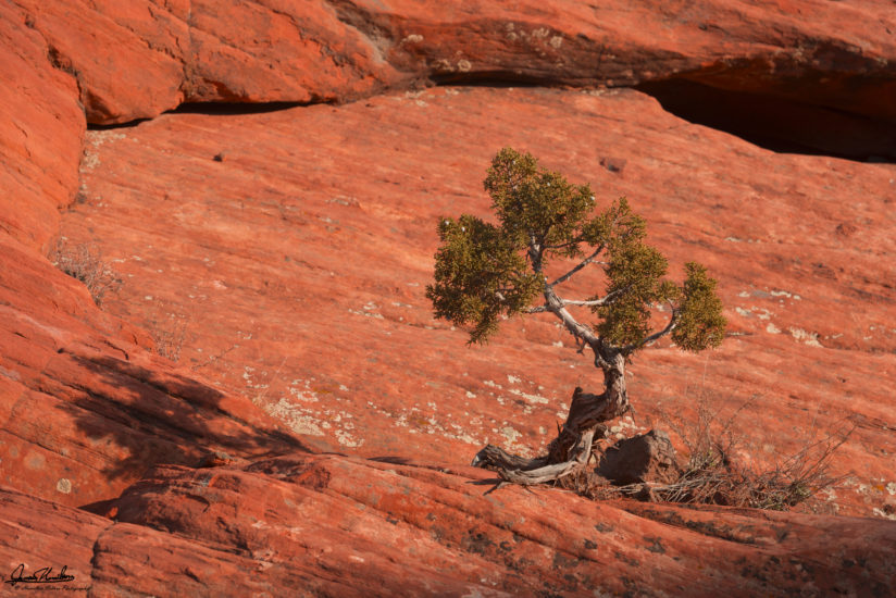 Solitary Juniper on Rock in Snow Canyon