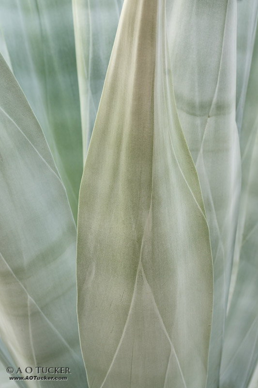 Endless Beauty Of The Agave