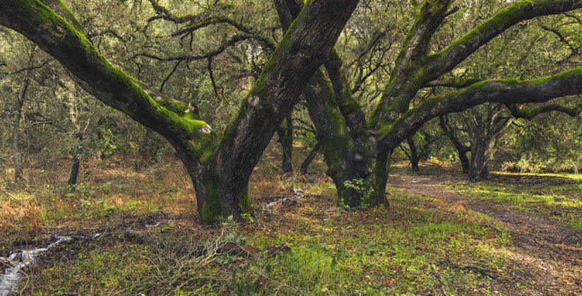 Valley Oaks in Shiloh Ranch Regional Park