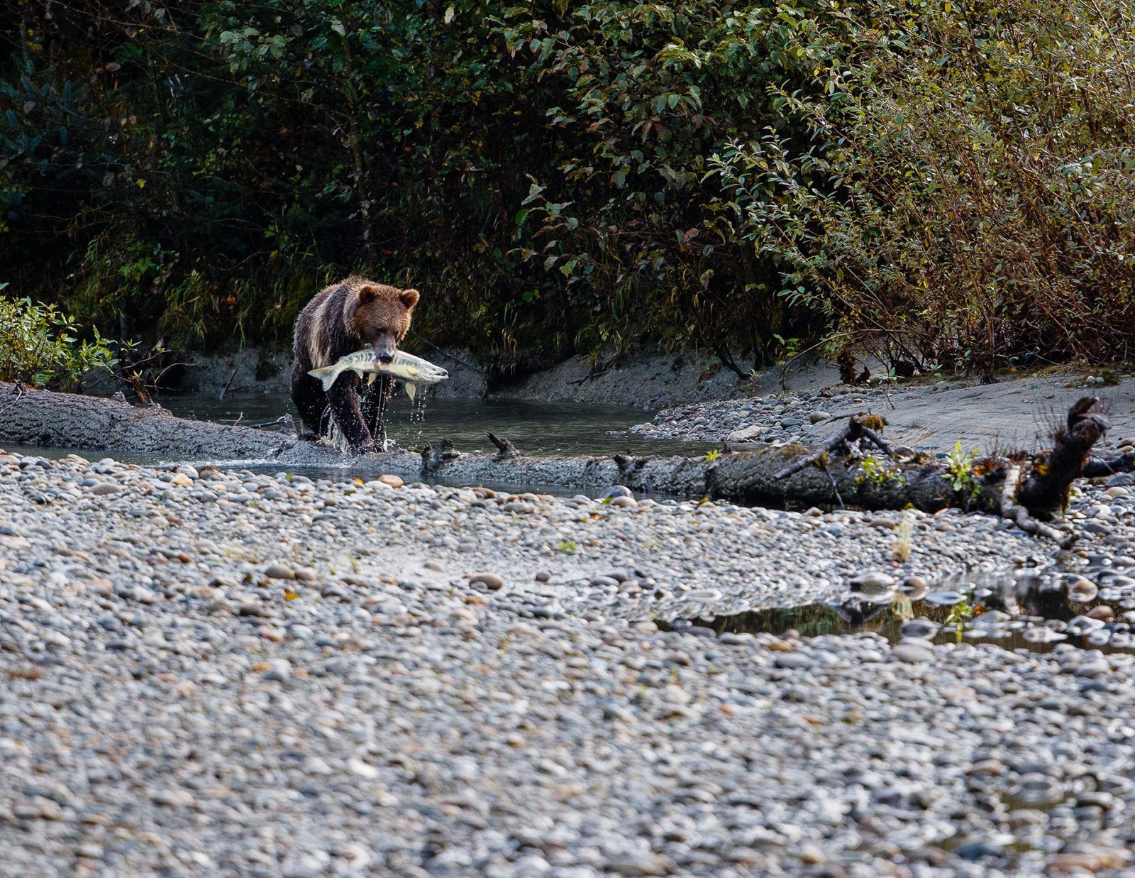 Grizzly Balancing Act