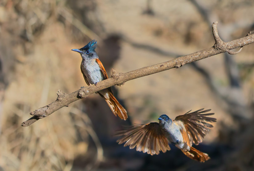 Asian Paradise flycatcher landing