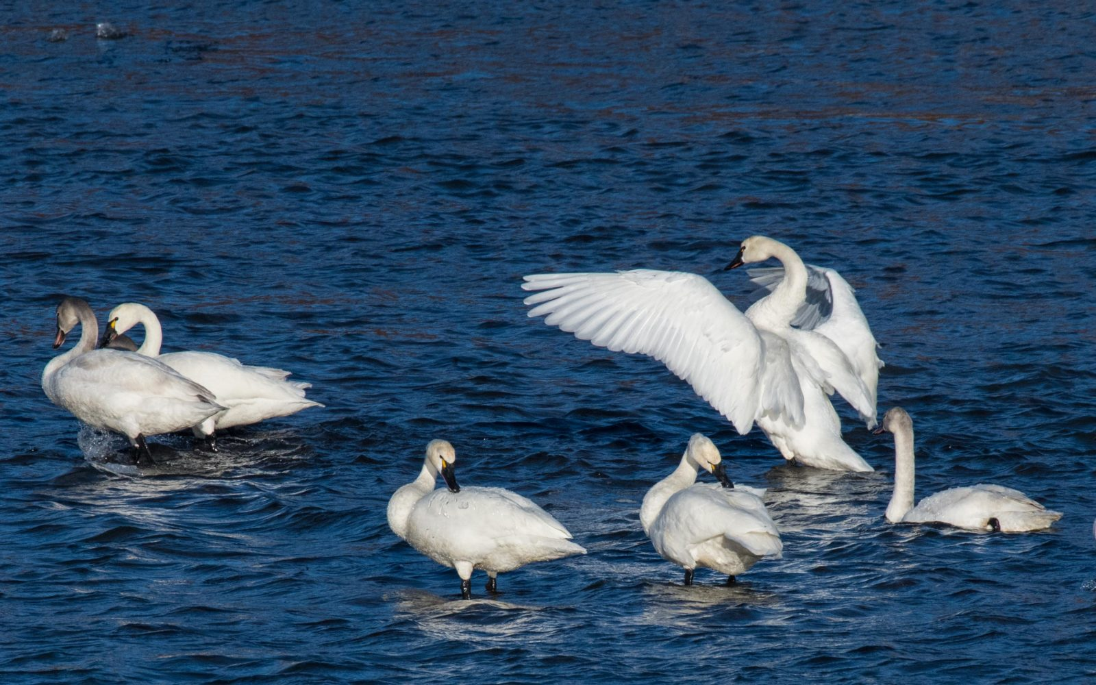 Tundra Swans on Chignik River