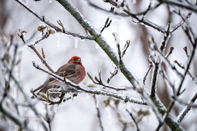 House Finch – Winter Storm Stella