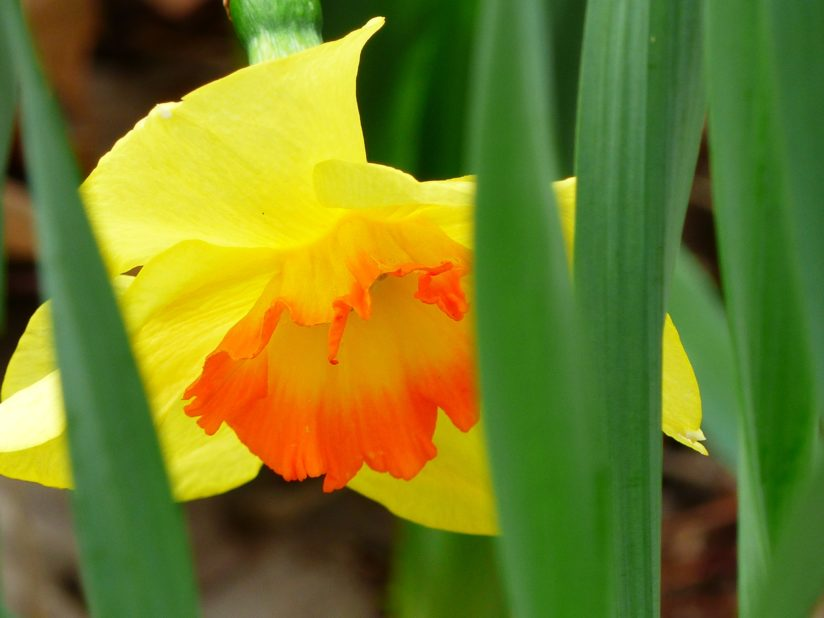 Fire Centered Daffodil