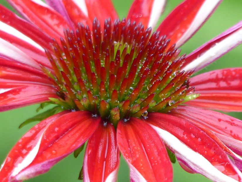 Rain-drenched Hot Coral Coneflower