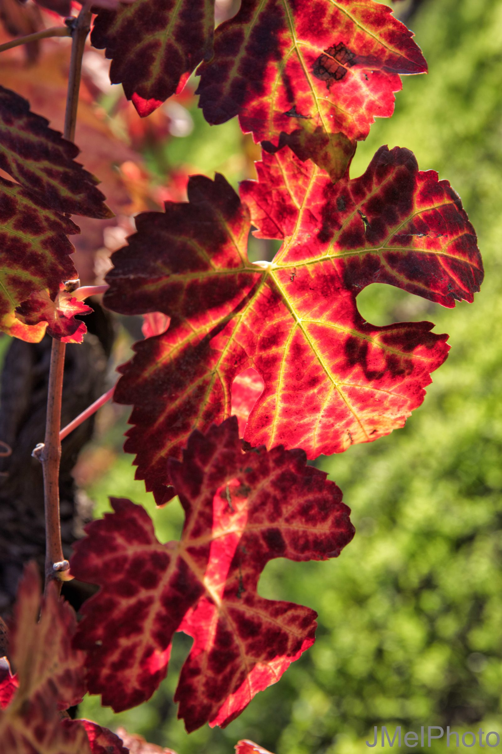 Backlit Vine Leaves in the Fall