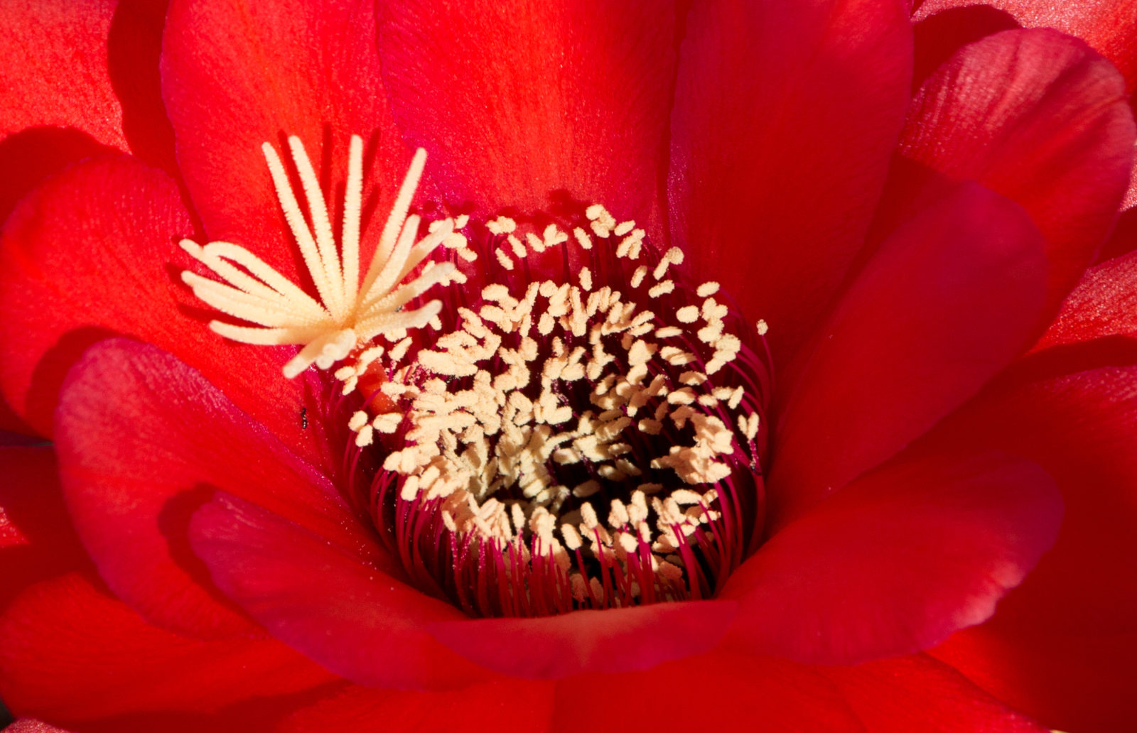 Echinopsis Flower – Red in a Hot Climate