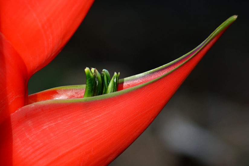 Heliconia Flower Petal