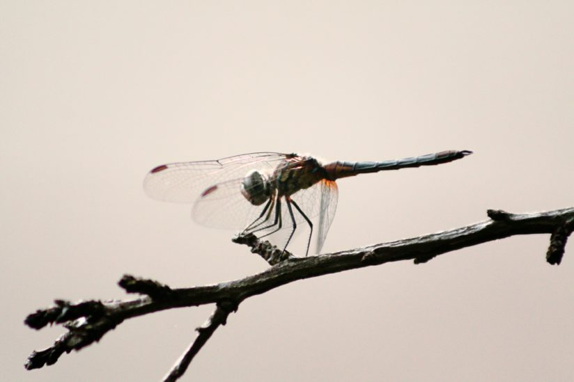 IMG_6568Dragonfly
