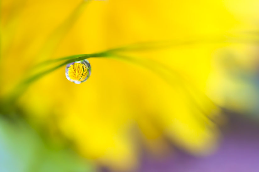 Dandelion through the morning dewdrop