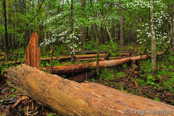 Dogwood and Fallen Trees In the Forest