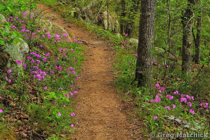 Wild Phlox Along the Trail 3
