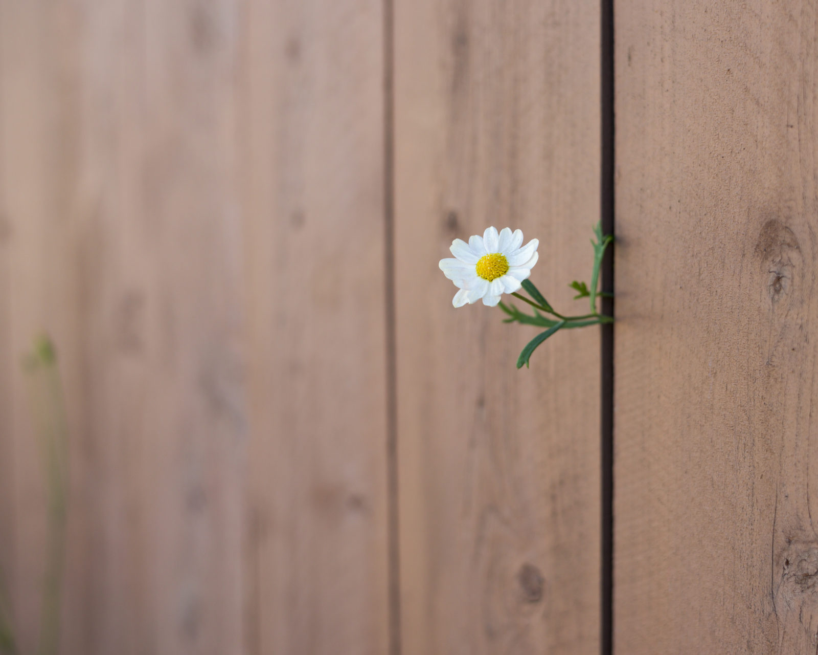 Daisy and Wood Fence