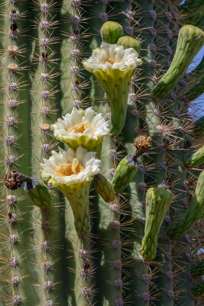 Saguaro cactus in full bloom