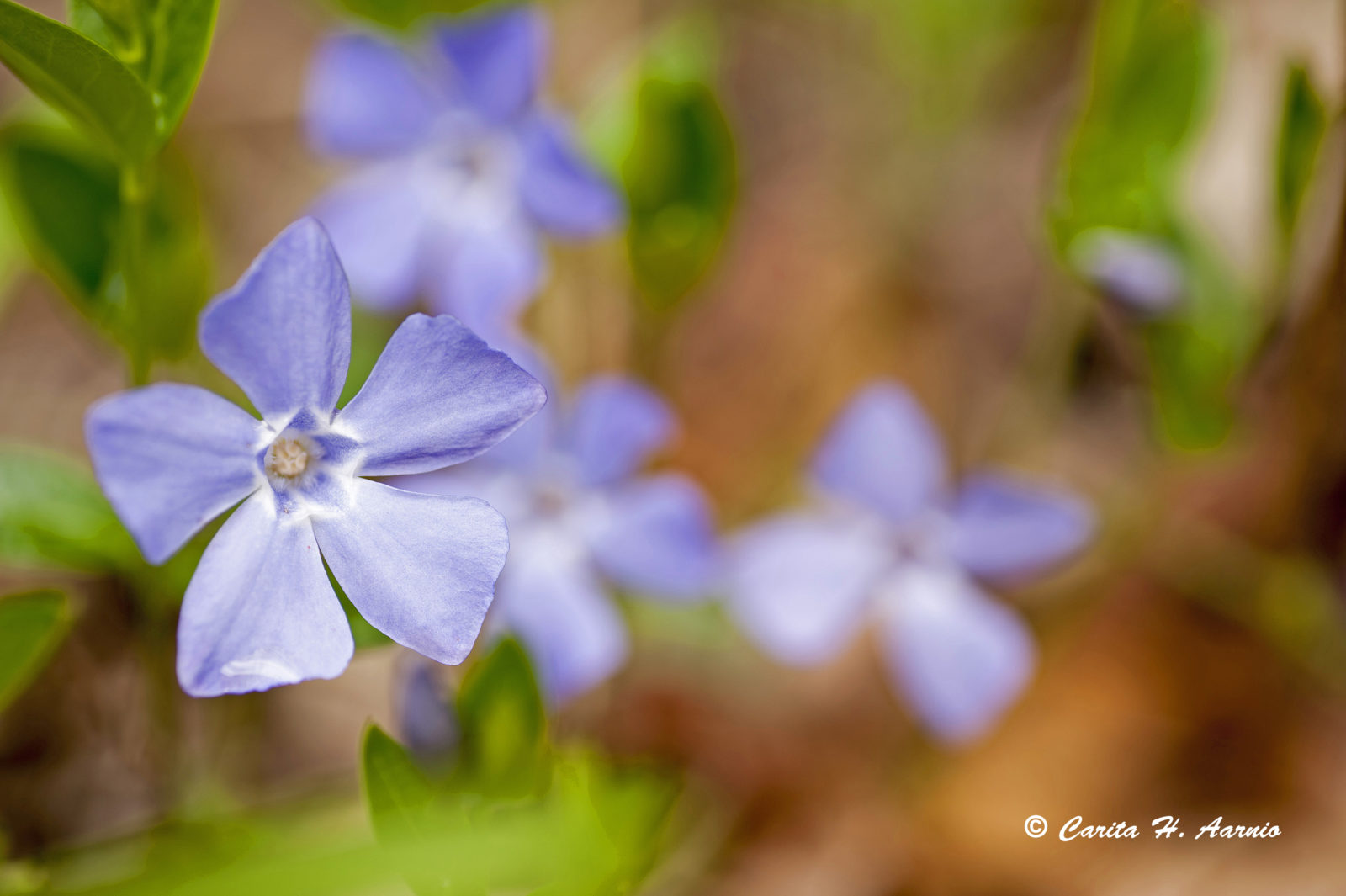 Periwinkle Blossoms