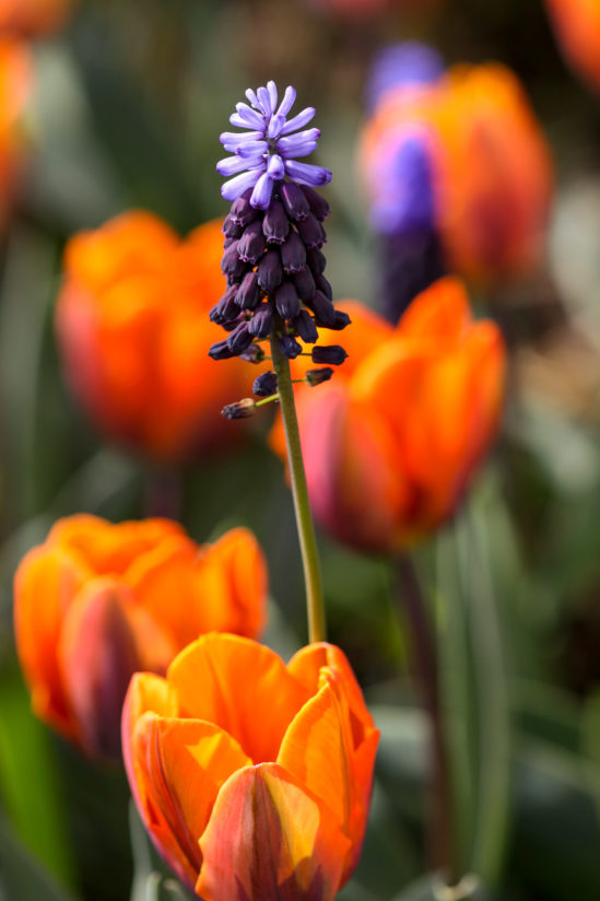 muscari with orange tulips
