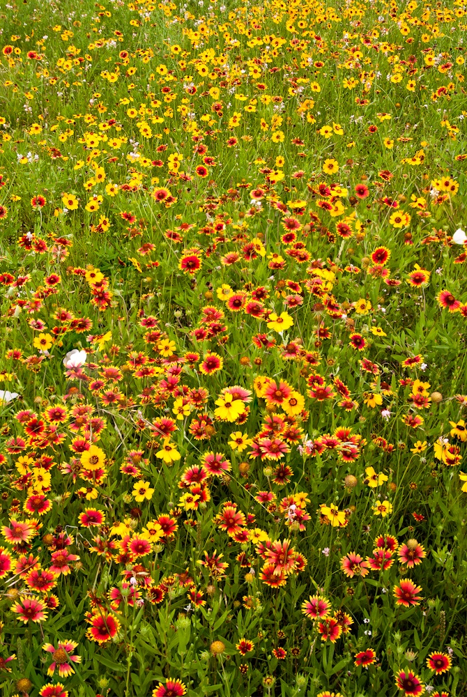 Indian Blanket & Prairie Zinnia