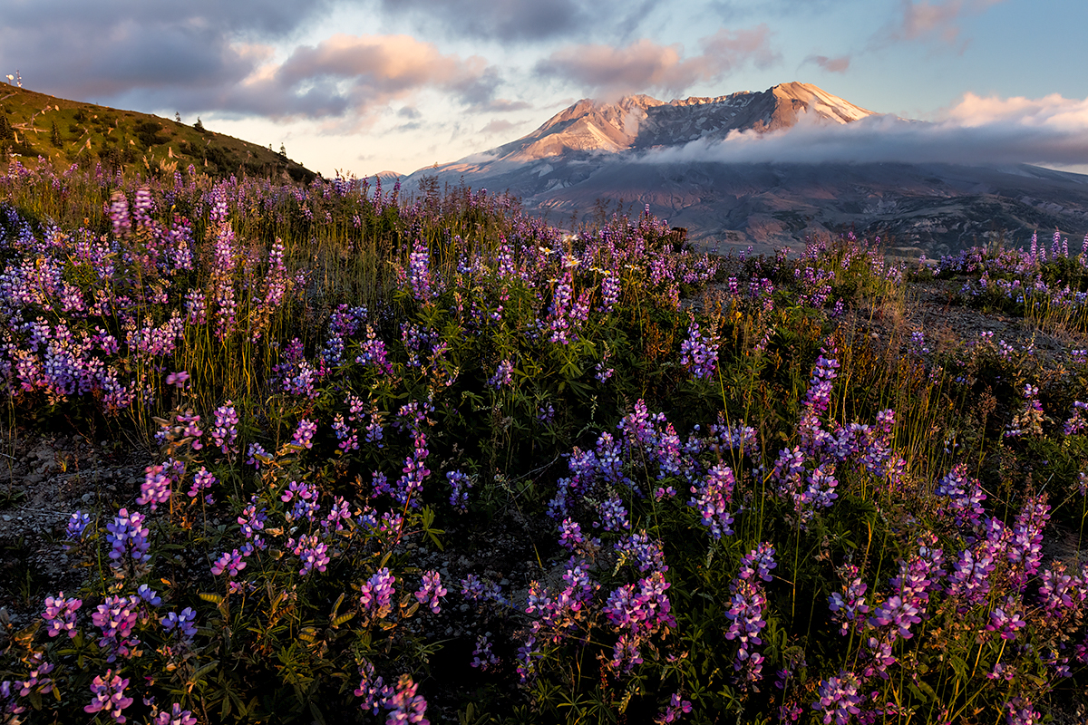 Wildflowers, Mt. St. Helens, Washington