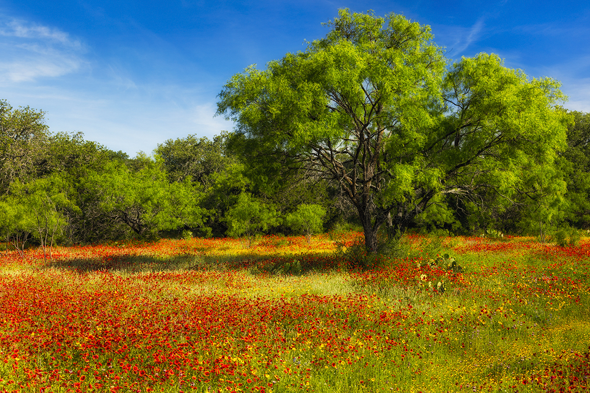 Wildflowers, Hill Country, Texas