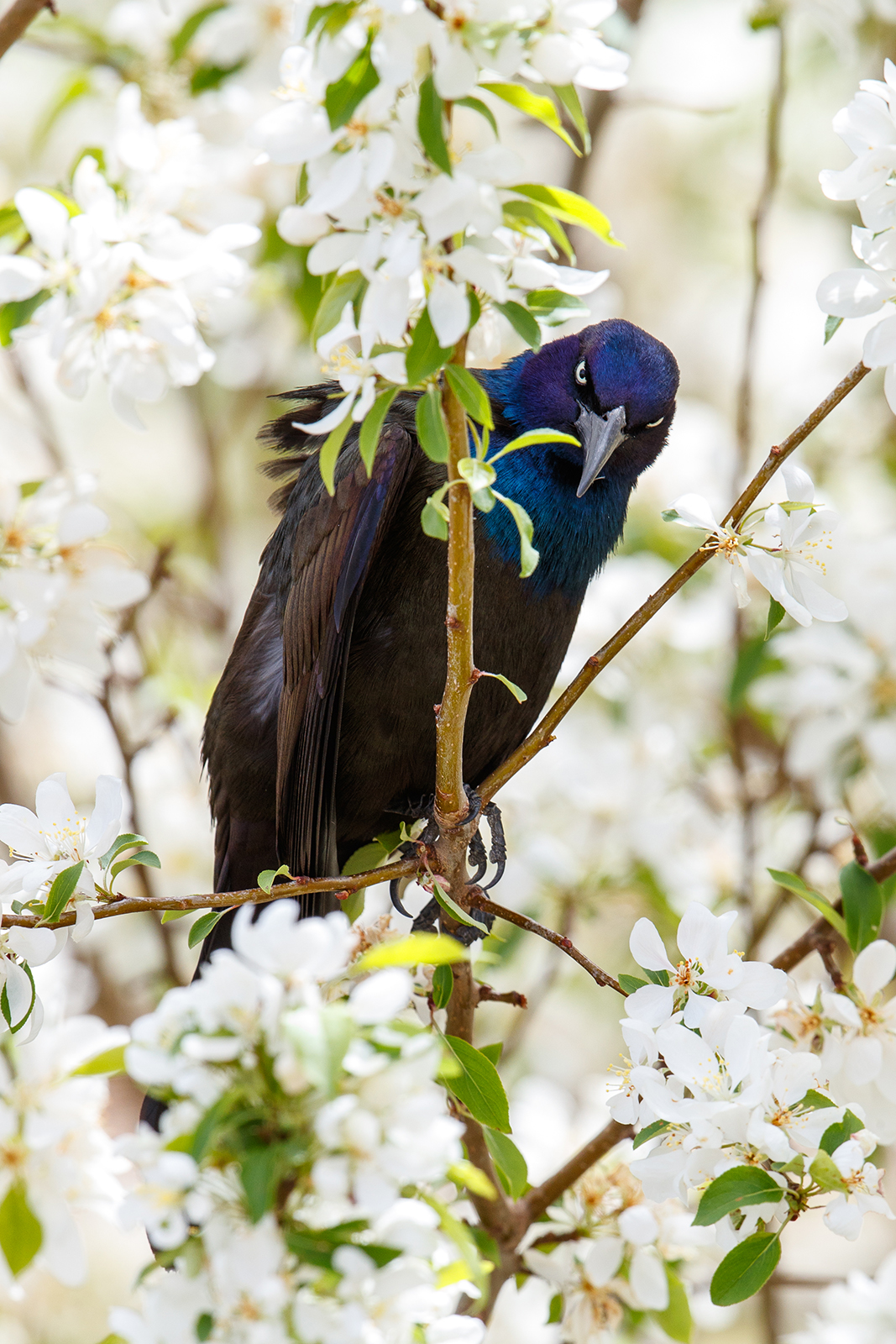 An Uncommon Grackle