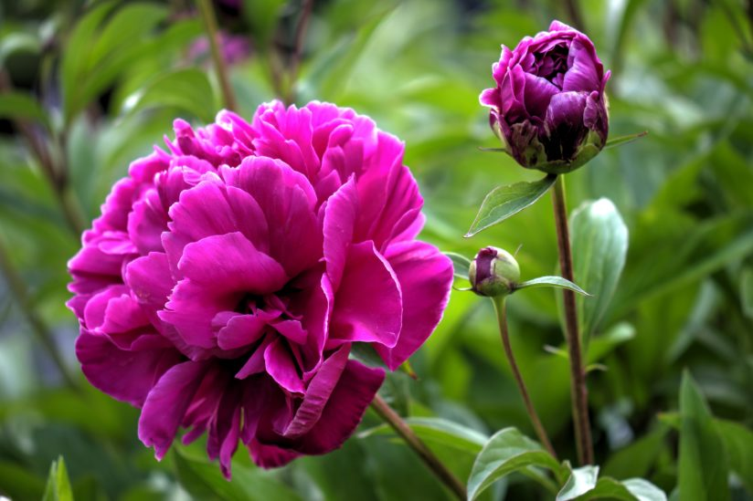 Peonies Starting To Pop