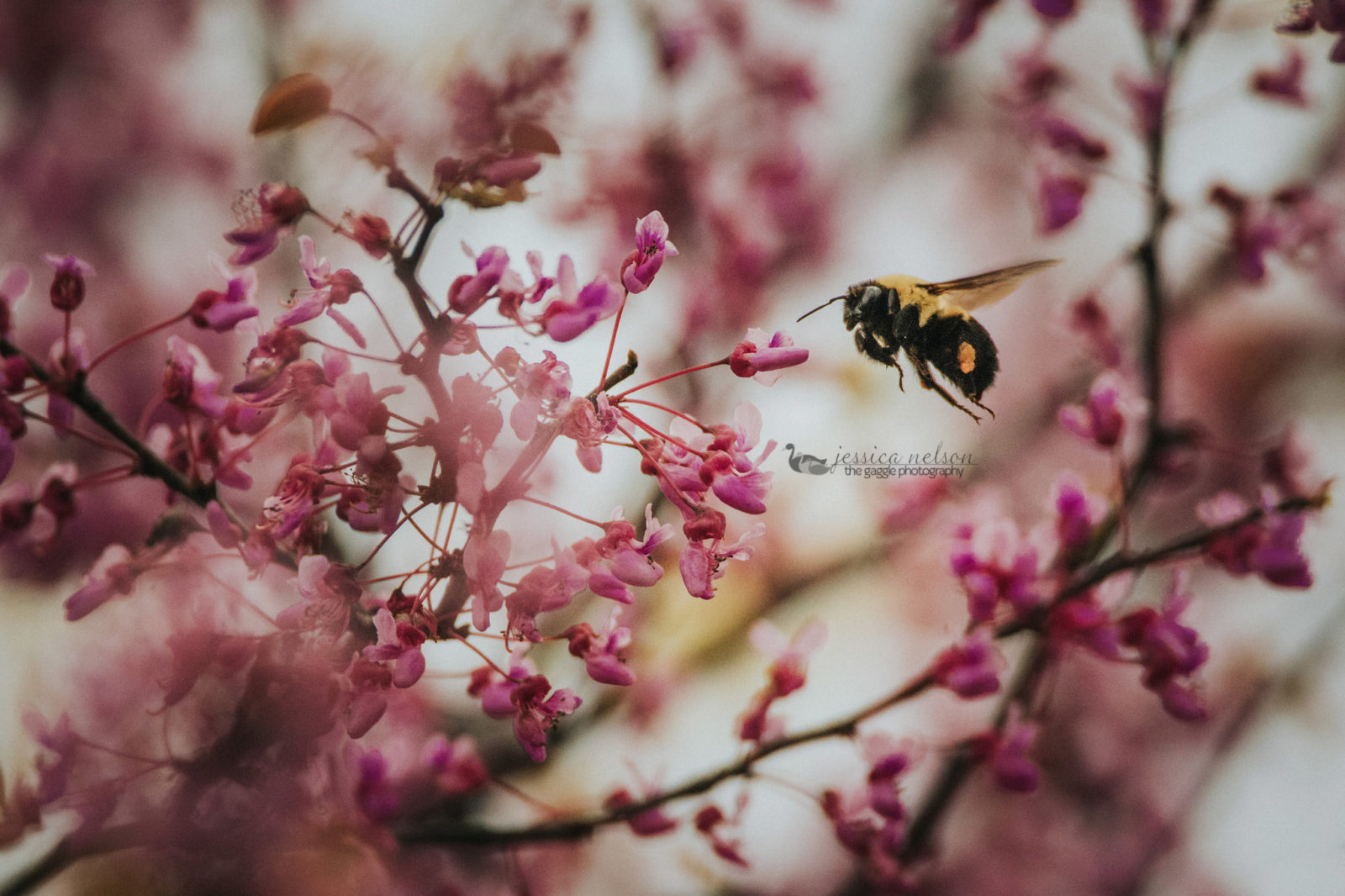 Redbuds and Bumblebee