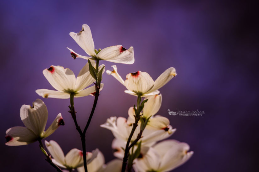 Dogwood Up Close from Afar