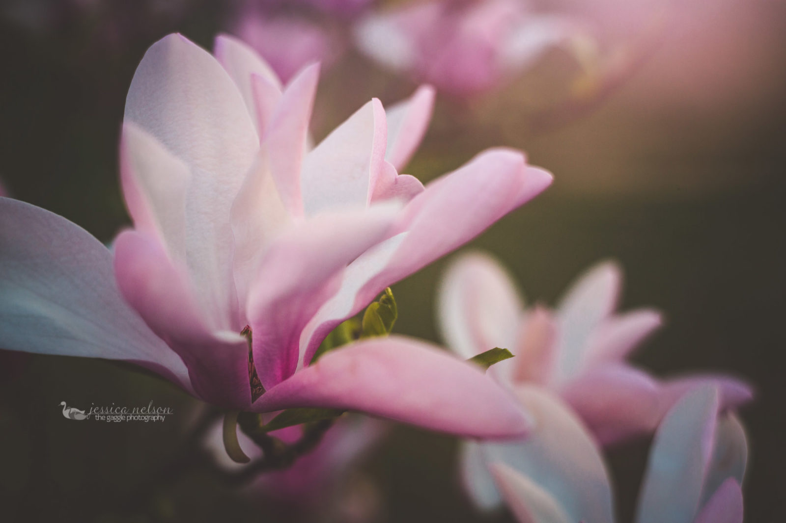 Freelensing and Blooming Magnolia