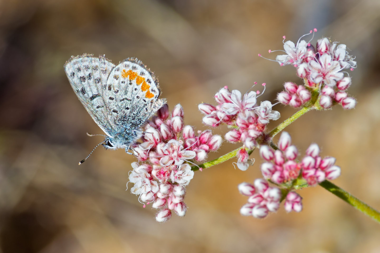 Butterfly and Bloom in the Desert