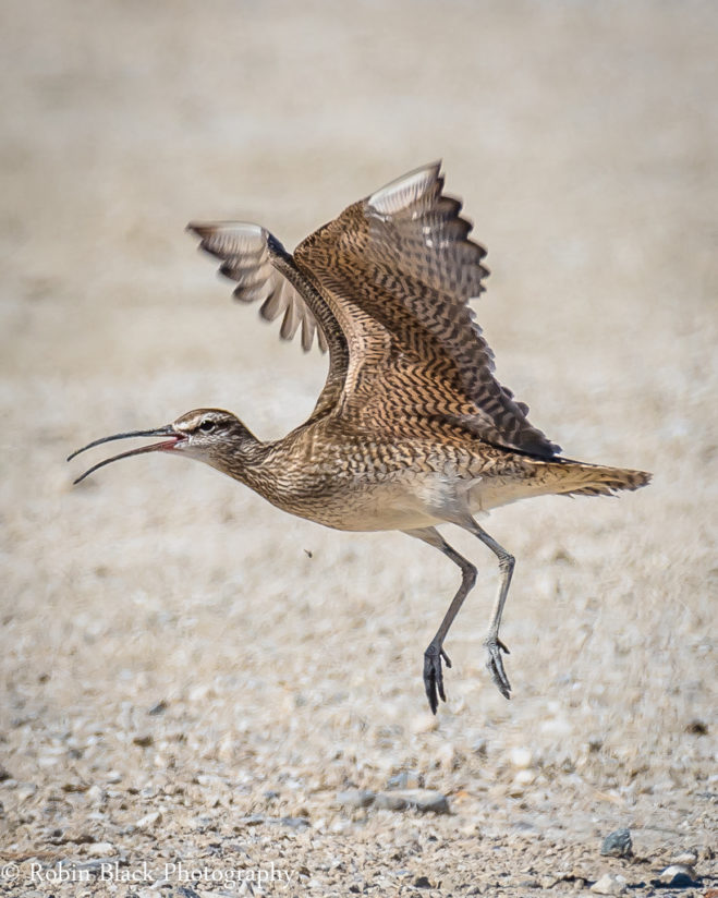 Whimbrel, Owens Lake