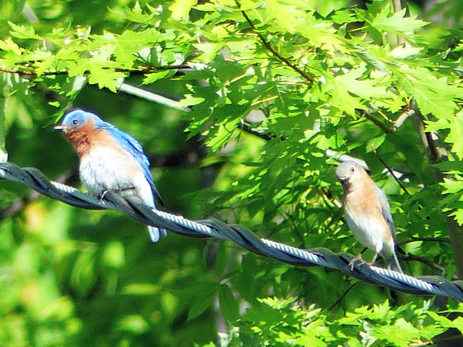 Parent and Young Bluebird
