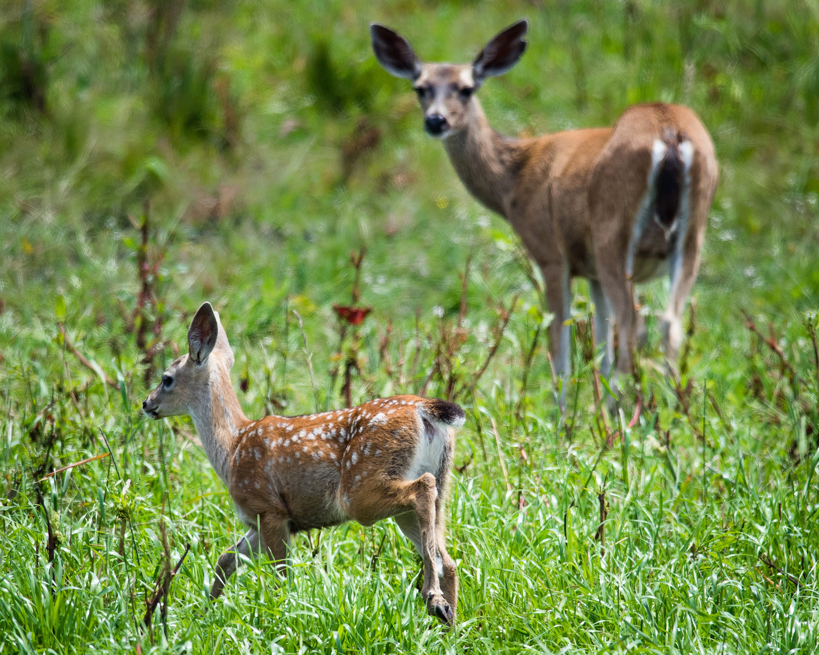 This Blacktail Doe Keeps a Close Watch Over Her Fawn