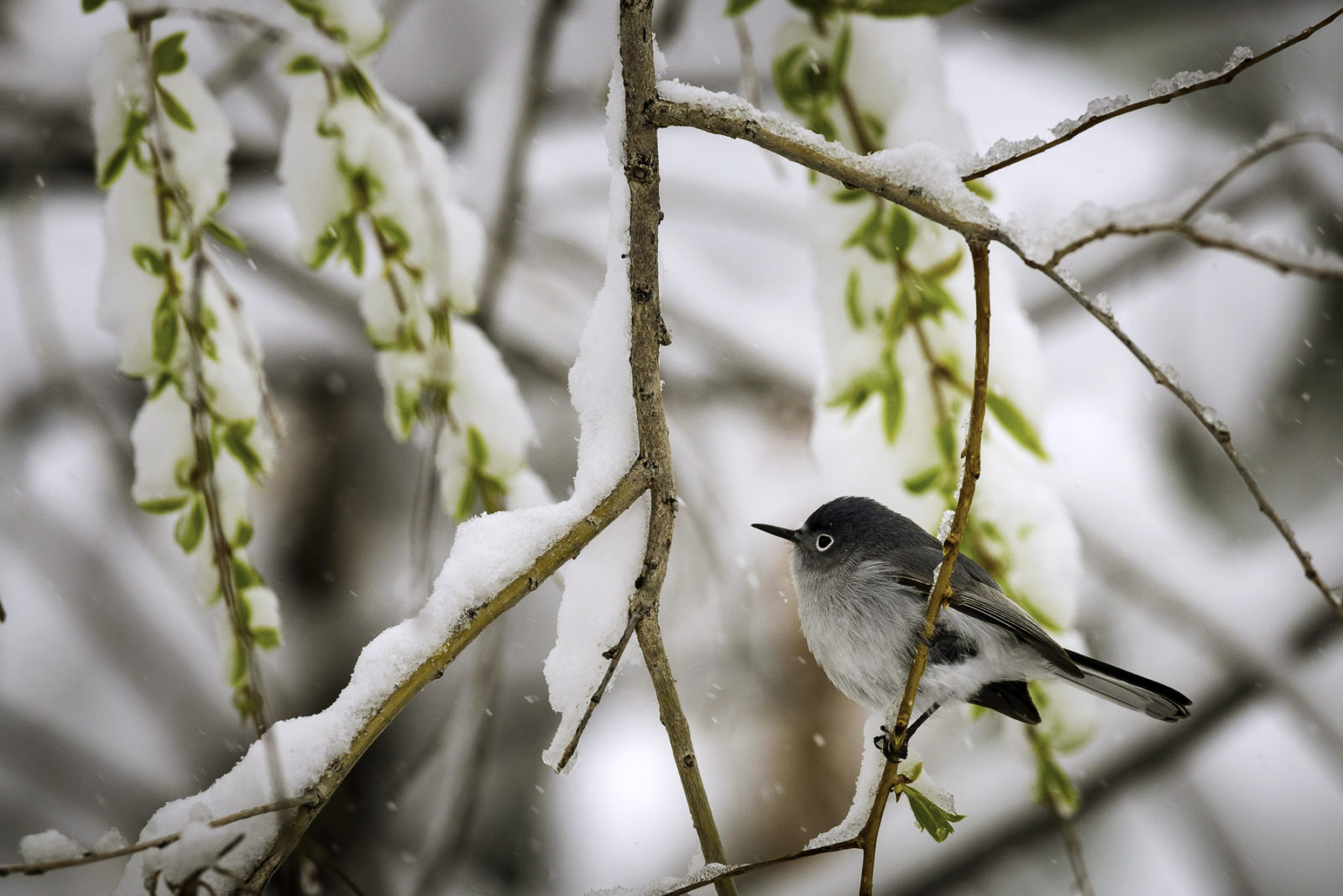 A Blue-gray Gnatcatcher seeks shelter from a spring storm